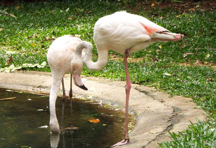 Flamingos, são muuuitos