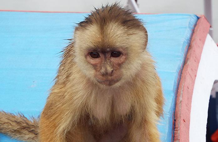 Um dos muitos macacos