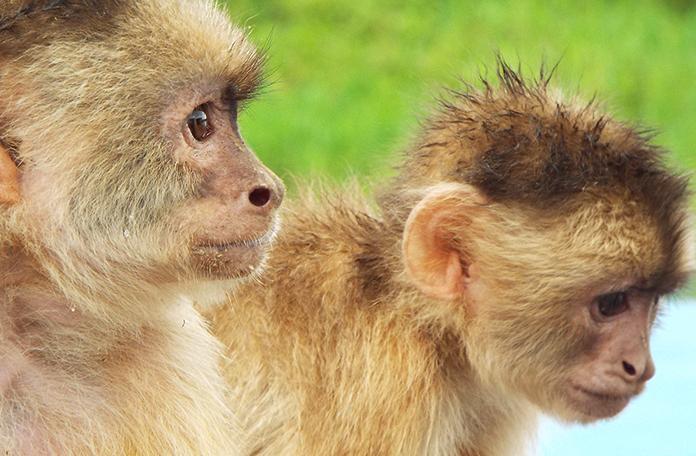 Mais macacos