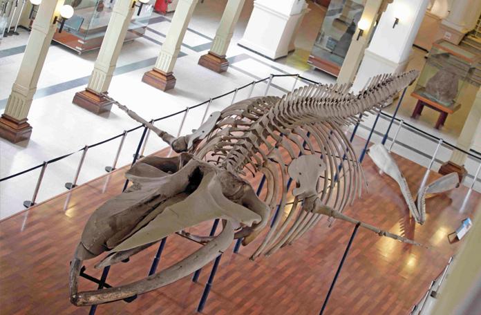 O esqueleto da baleia