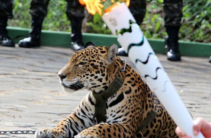 Onça Juma e a palhaçada olímpica (imagem: internet)
