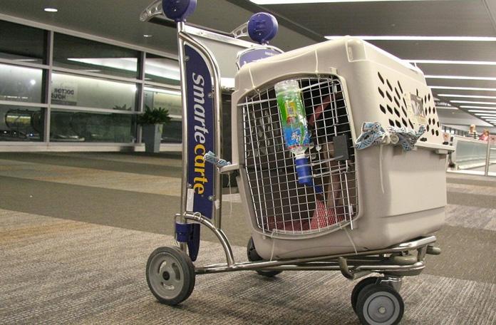 Animais de estimação no avião: fique atento às regras