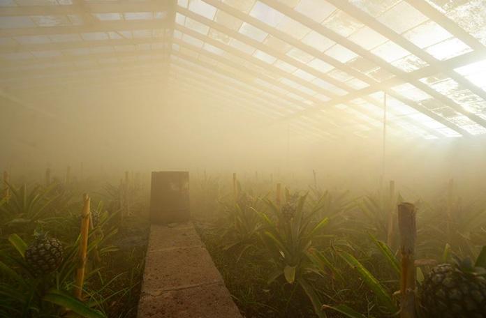 Plantação de Ananás