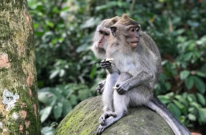São mais de 600 macacos ao todo