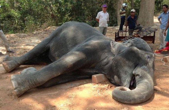 Elefante morto no Camboja (imagem: BBC / Yem Senok)