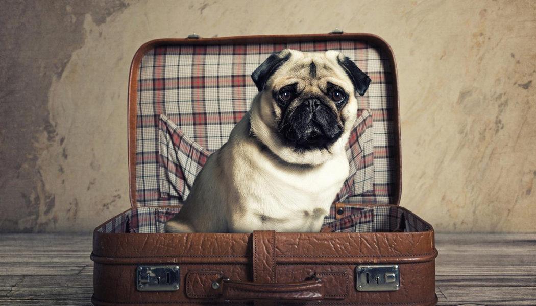 animal de estimação em viagens de avião