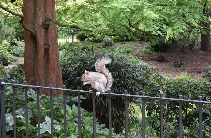 Os esquilos estão espalhados por todos os parques de Londres