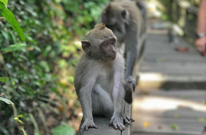 Um dos macacos mais jovens do bando